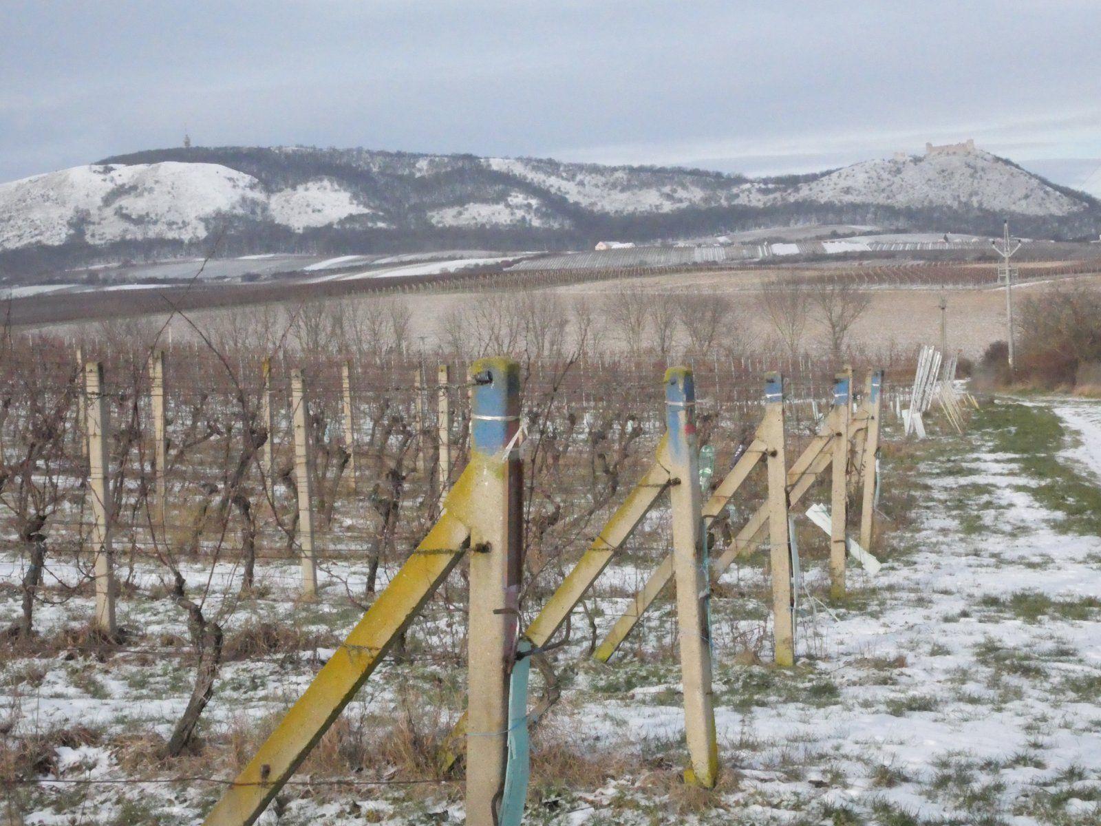 Prodej 1/5 úrodné vinice v malebné lokalitě mezi obcemi Pavlov a Milovice.