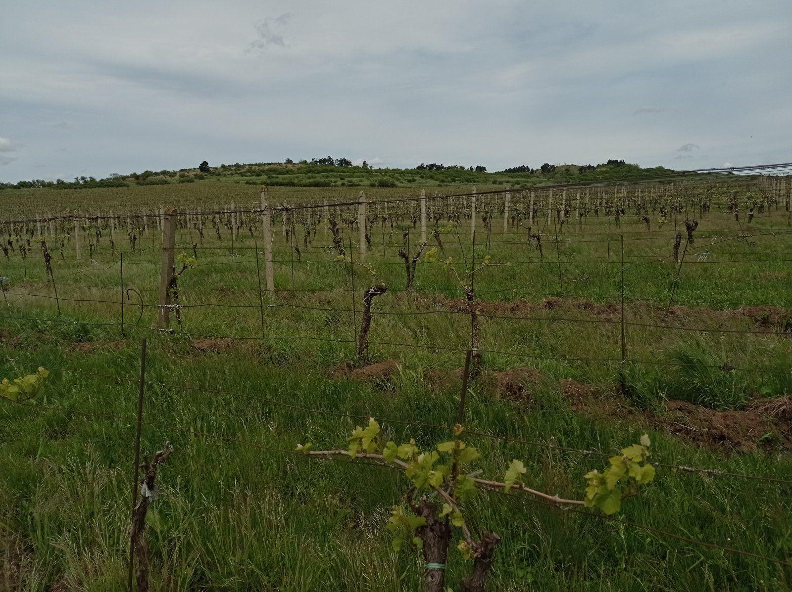 Prodej vinice ve vyhlášené lokalitě obce Miroslav